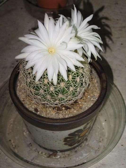 White flower cactus cactiguide white flower cactus mightylinksfo